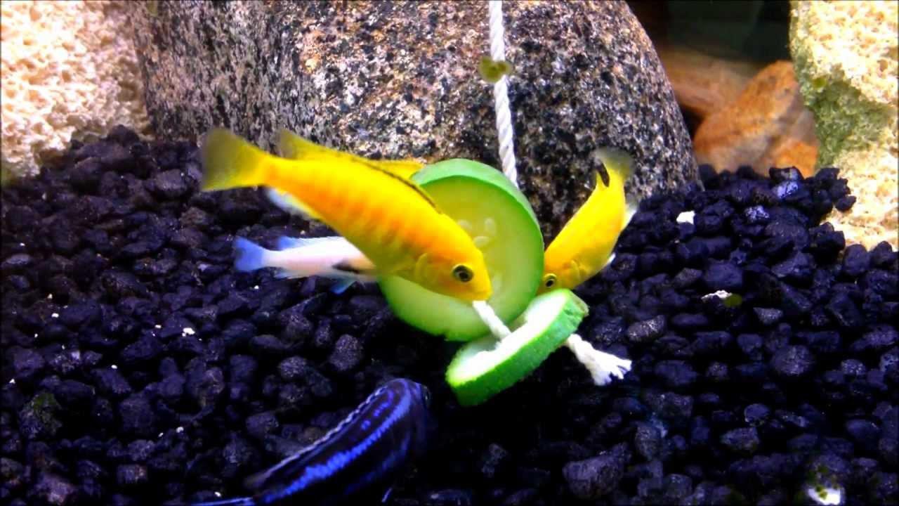 Какие овощи можно домашним рыбкам?