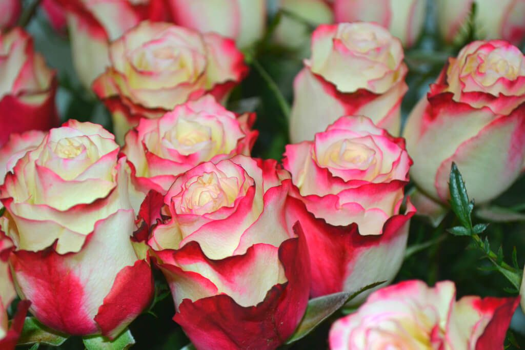 Обзор всех видов роз